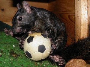 black squirrel soccer ball